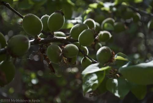 apricot gems