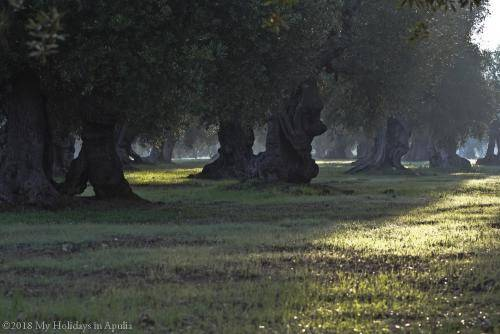olive trees in the countryside
